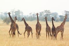 Herd of giraffes Stock Photography