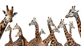 Herd of giraffes. Isolated on a white background Stock Photo