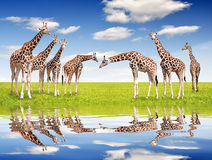 Herd of giraffes. On meadow Royalty Free Stock Image