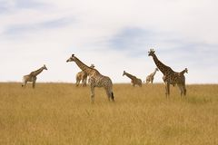 Herd of Giraffes resting on the plains Royalty Free Stock Images