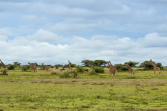 A herd of giraffes. In the Serengeti Stock Photos