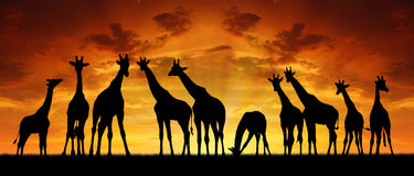 Herd of giraffes in the sunset. Africa Stock Photos
