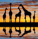 Herd of giraffes. In the sunset Royalty Free Stock Photography