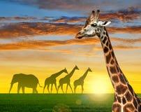 Herd of giraffes Royalty Free Stock Photos