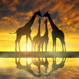 Herd of giraffes Royalty Free Stock Photos