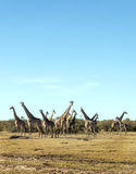 Herd of giraffes vertically Stock Photo