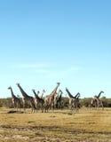 Herd of giraffes vertically Stock Photo