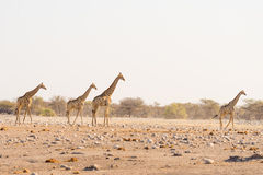 Herd of Giraffes walking in the bush on the desert pan, daylight. Wildlife Safari in the Etosha National Park, the main travel des Stock Photos