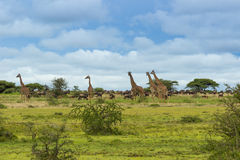 A herd of giraffes and wildebeest. Grazing in the Serenget Royalty Free Stock Photos