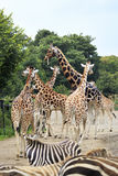 Herd of giraffes and zebras. Stock Images