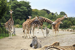 Herd of giraffes and zebras. Royalty Free Stock Image