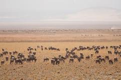 Herd of Gnu Stock Photos