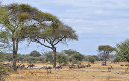 Herd of Gnu and Lonely Zebra Stock Images