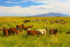 Herd of goat Royalty Free Stock Photo