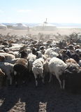 Herd of goats. In front of mongolian yurt royalty free stock photos