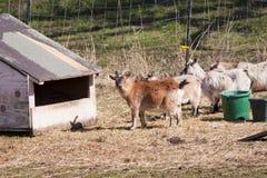 Herd of goats. Stock Photos