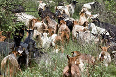 Herd of goats Stock Photos