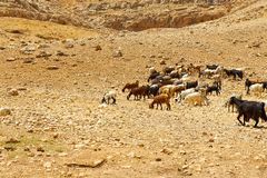 Herd of Goats Stock Photos