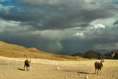 The herd of goats. Herd of wild goats on a deserted mountain plateau about Eilat in Israel Royalty Free Stock Image