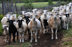 Herd of goats. In the mountains of Swartberg South Africa stock photos