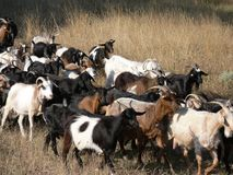 The herd of goats Stock Photography