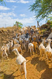 Herd of Goats. Wandering up a dusty trail Stock Photos