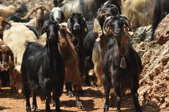 A herd of goats, animals spent with pastures Stock Photography