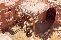Herd of goats. Argan herd of goats in a pen in Morocco Royalty Free Stock Images