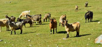 Herd of goats Royalty Free Stock Image