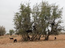 Herd of Goats. A herd of goats climbing the Argan trees in the landscape near Tafraoute, Morocco Stock Images