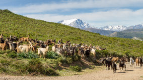 Herd of goats in Corsica with snow capped mountains Royalty Free Stock Images
