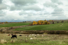 Herd of goats and cows graze in the autumn field Stock Photos