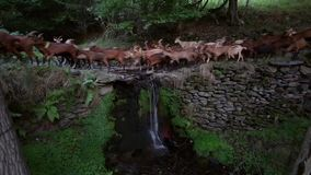 Herd of goats crossing a river with a small waterfall.Time Lapse