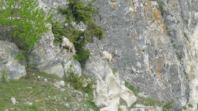 A herd of goats descends the rocks in search of better food. One white mountain goat descends the rock for food. Several more goats are descending stock footage