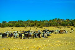 Herd of goats in the desert Royalty Free Stock Images