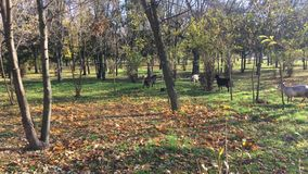 Herd of goats early in the morning in the city park stock video footage