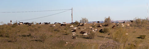 Herd of goats in the evening Stock Photo