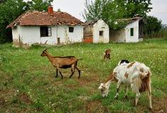 Herd of goats Stock Image
