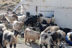 A herd of goats on a farm in east Anatolia, Turkey. Big herd of domesticated goats on a farm in south eastern of Anatolia, Turkey stock image
