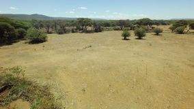 Herd of goats on a field of African savannah on a hot, dry and sunny day