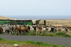 A herd goats on Fuerteventura in Spain Royalty Free Stock Images
