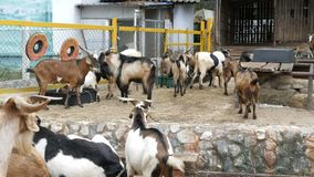 Herd of goats on goat farm. Herd of goats on a goat farm stock video