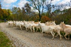 Herd of goats Stock Image