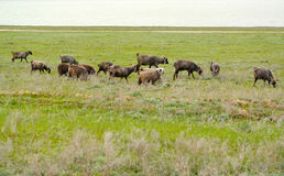 The herd of goats is grazed on a pasture in the spring steppe. K. Almykia Stock Images