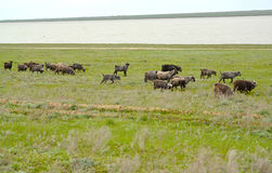 The herd of goats is grazed on the river bank Manych in the spri. Ng steppe. Kalmykia Stock Photo