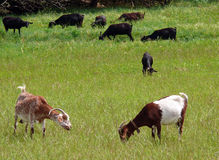 Herd of goats. Grazing in the field stock image