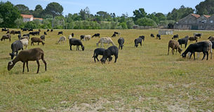 Herd of goats grazing Stock Images