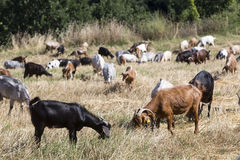 Herd of goats grazing in a meadow Stock Images