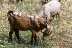 Herd of goats grazing in a meadow Royalty Free Stock Photo