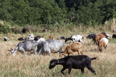 Herd of goats grazing in a meadow Royalty Free Stock Image